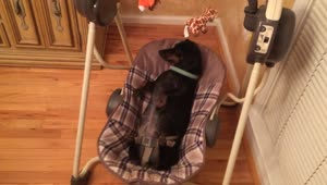 Dog relaxes adorably in a baby swing - Video