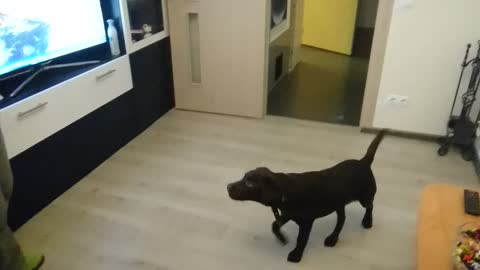 Lord, the Labrador Puppy, plays with soap bubbles