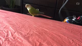 Conure excited about vacuuming