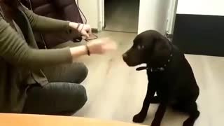 "Labrador puppy Lord, plays ""Guess which hand""  - Video"