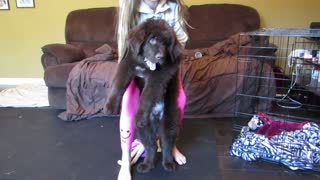 Giant Newfoundland puppy attack! - Video
