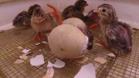 Newborn chick helps brother hatch from egg