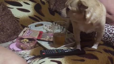 Dog brazenly lapping beer from a glass