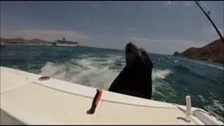 Sea Lions jump on back of boat for treat