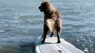 A dog surfing on the water