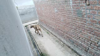 A very big dog run away in the street looking for something  - Video