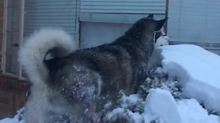 Husky jumps on top of snow covered bush - Video