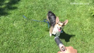 Corgi tries to drink hose water