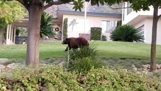 Giant bear and cub casually stroll through residential neighborhood