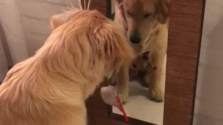 Dog looking at itself in the mirror with toy - Video