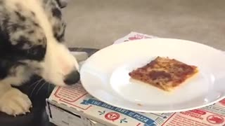 White and grey dog trying to eat pizza from plate - Video