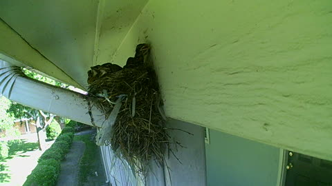 Baby Birds Getting Too Big For Their Nest Part 2
