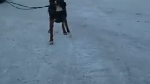 Human Tries To Make Her Dog Pull The Sled