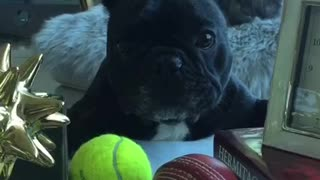 Frenchie wants what she can't have  - Video