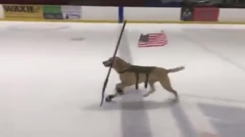 Ice skating dog skates with hockey stick in mouth