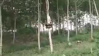 Sneaky Snake Ascends Tall Tree
