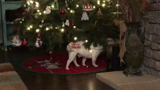 Cute French Bulldog Loves The Christmas Tree  - Video