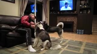Huskies become extremely jealous when the other gets attention - Video
