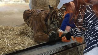 Tiger Wants a Toy - Video