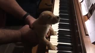 Puppy plays piano
