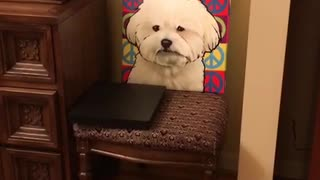 Small white dog doesnt like colorful painting of itself