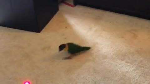 Parrot obsessed with chasing red dot
