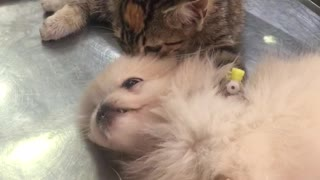 Kitten Comforts Puppy at Veterinary Clinic