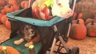 Dog and pig form an unlikely friendship