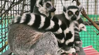 the cunning animals of the Madagascar lemurs