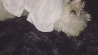 White dog lays on black blanket and chews on dress