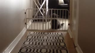 Puppy stays home alone for first time cries - Video