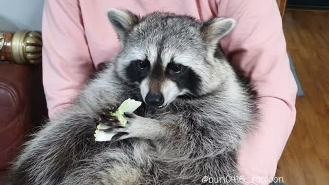 Raccoon eats Chinese cabbages deliciously.