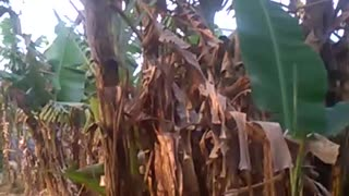 Banana garden of my house.  - Video