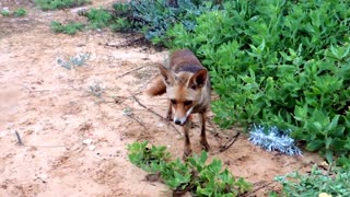 Mother fox leads human to her kits - Video
