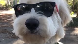 White dog wearing black sunglasses on trail - Video