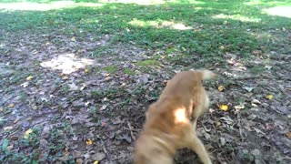 Brown golden retriever dog chasing own tail