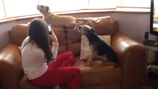 Jack Russell Howling On key - Video