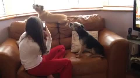 Jack Russell Howling On key