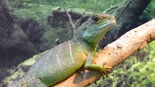 Close up of water dragon