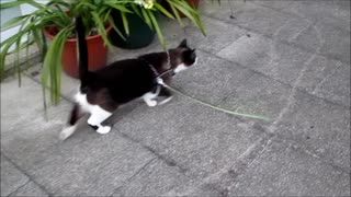 Cat goes out for a walk like a dog!