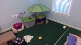 Pair of bunnies chase each other for treats - Video