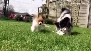 Small fluffy brown and white puppy runs at camera