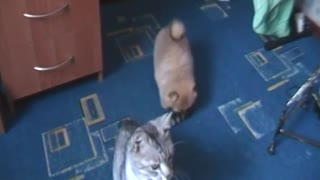 Spitz against the cat  - Video