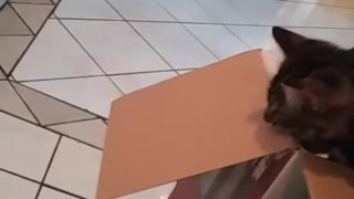 Cat throws himself into box - Video