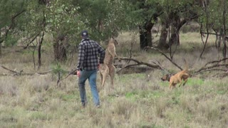 Man Punches a Kangaroo in the Face to Rescue His Dog - Video