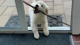 Puppy Struggles to Bring Stick Inside
