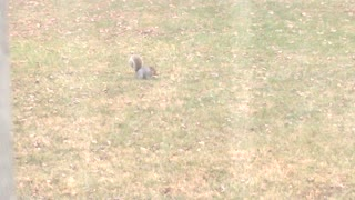 Squirrel Gathering Building Materials - Video