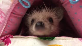 Adorable hedgehog sees her human!  - Video