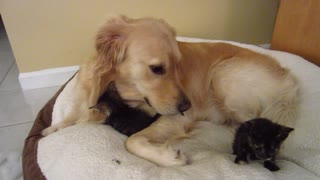 Cute Foster Kittens Love To Snuggle On Their Dog Father's Bed - 4 Weeks Old  - Video
