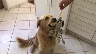 Golden Retriever can't choose between toy or treat